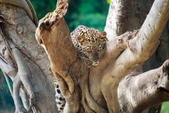 被隐藏热豹子的分行位于树荫星期日结构树 库存图片