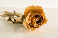被隔绝的一朵干玫瑰 免版税库存照片