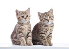 被隔绝的两只小猫猫坐白色 库存图片