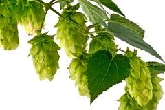 被隔绝的啤酒花球果树 免版税库存照片