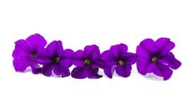 被隔绝的喇叭花紫罗兰色花 库存图片