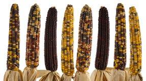 被隔绝的套五颜六色的玉米棒子 库存图片