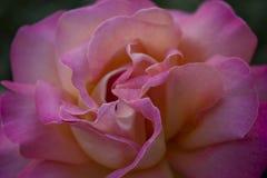 被隔绝的明亮的彩虹颜色玫瑰宏指令 图库摄影
