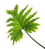 被隔绝的热带爱树木的人叶子 免版税库存照片
