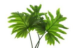 被隔绝的热带爱树木的人叶子 免版税库存图片