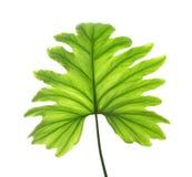 被隔绝的热带爱树木的人叶子 库存照片