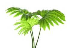 被隔绝的热带爱树木的人叶子 库存图片