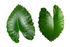 被隔绝的热带绿色用露滴水离开在白色 库存图片