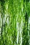 被隔绝的爬行植物的绿色长的叶子紧密  免版税库存照片