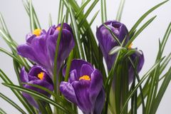 被隔绝的特写镜头宏指令开花的紫色番红花 图库摄影