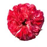 被隔绝的特写镜头红色玫瑰 免版税库存图片