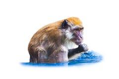 被隔绝的猴子在水中 库存图片