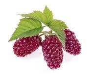 被隔绝的甜成熟黑莓或莓 免版税库存照片