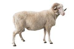 被隔绝的白色公羊 库存图片