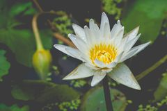 被隔绝的白莲教花通过水戳了在池塘在葡萄酒样式的公园 免版税库存图片