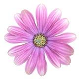 被隔绝的紫色海角延命菊雏菊花 免版税图库摄影