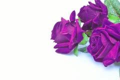 被隔绝的紫色玫瑰人为背景 免版税图库摄影
