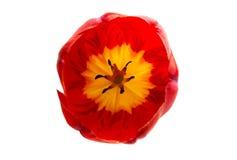 被隔绝的红色郁金香花 库存照片