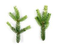 被隔绝的绿色云杉的枝杈 图库摄影