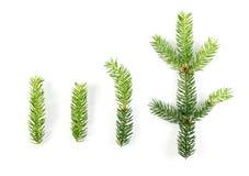 被隔绝的绿色云杉的枝杈 免版税库存照片
