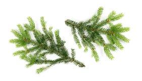 被隔绝的绿色云杉的枝杈 免版税图库摄影