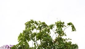 被隔绝的绿色叶子/植物纹理 免版税库存照片