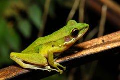 被隔绝的美丽的嘴唇发白青蛙Chalcorana labialis 免版税库存照片
