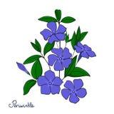 被隔绝的装饰元素荔枝螺花束 蓝色开花长春蔓 免版税库存照片