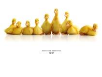 被隔绝的逗人喜爱的小的鸭子 免版税库存照片