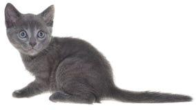 被隔绝的逗人喜爱的灰色shorthair小猫开会 库存照片