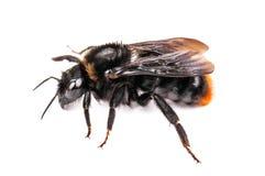 被隔绝的野生土蜂 图库摄影