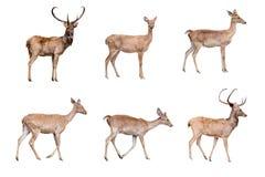 被隔绝的鹿和hinds 库存照片