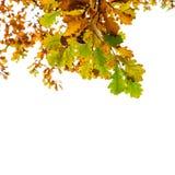 被隔绝的黄色和绿色橡树叶子 免版税库存图片