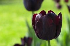 被隔绝的黑暗的紫色郁金香在阳光下 库存图片