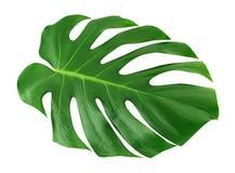 被隔绝的Monstera大叶子 绿色密林叶子独特的热带设计样式白色背景,与裁减路线 免版税库存照片