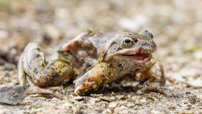 被隔绝的一只死的青蛙的宏指令 免版税库存图片