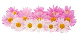 被隔绝的一朵桃红色雏菊的花 图库摄影