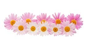 被隔绝的一朵桃红色雏菊的花 库存图片