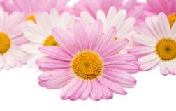 被隔绝的一朵桃红色雏菊的花 免版税库存图片