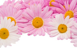 被隔绝的一朵桃红色雏菊的花 免版税图库摄影