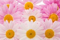 被隔绝的一朵桃红色雏菊的花 免版税库存照片