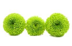 被隔绝的一朵绿色菊花的宏指令 库存图片