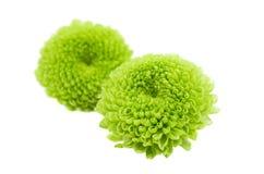 被隔绝的一朵绿色菊花的宏指令 免版税图库摄影