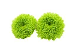 被隔绝的一朵绿色菊花的宏指令 免版税库存照片