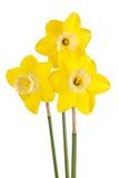 被隔绝的一次反向双色的黄水仙培育品种的三朵花 库存图片