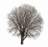 被隔绝的不生叶的树 免版税库存图片