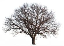 被隔绝的不生叶的树 免版税库存照片