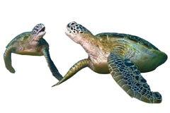 被隔绝的两只绿浪乌龟坐白色背景 库存图片