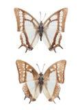 被隔绝的两只nymphalid蝴蝶 库存图片