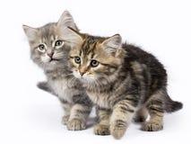 被隔绝的两西伯利亚森林猫/小猫坐白色背景 免版税库存照片